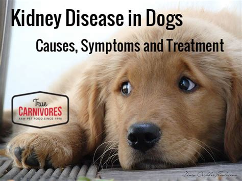 kidney failure in puppies kidney disease in dogs true carnivores