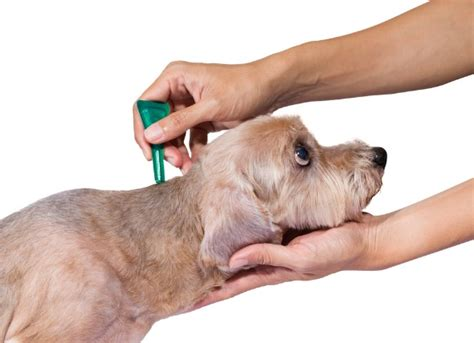 flea medicine for puppies flea and tick medicine poisoning in dogs petmd