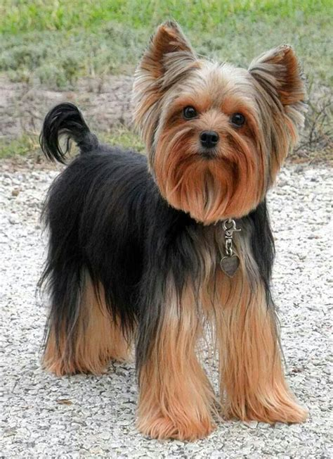 yorkshire terrier blond photos hairstyle gallery 28 best yorkie cuts images on pinterest yorkies yorkie