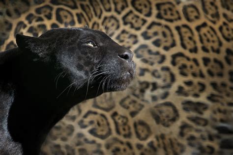 free photo leopard black panther zoo feline free