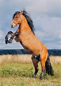 rearing stallion royalty free stock photo image 11362775