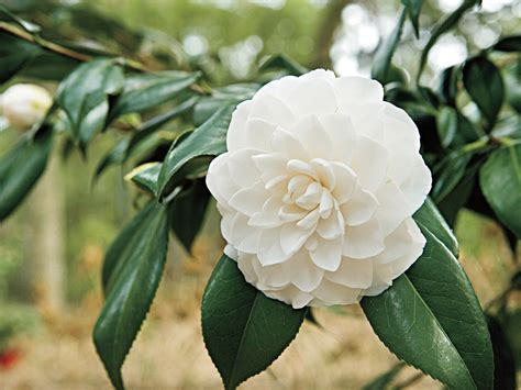 Camelia Sabrina Black New the complete guide to camellias southern living