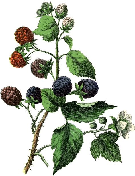 vintage botanical blackberries image the graphics fairy