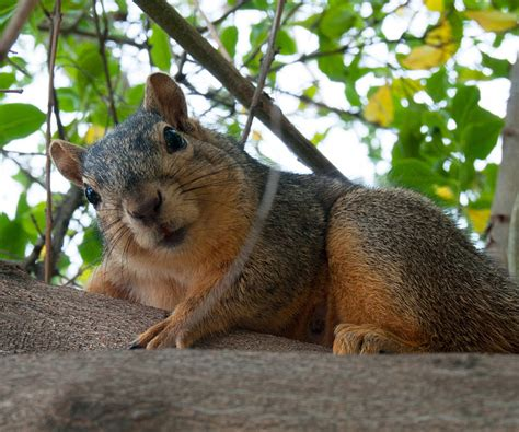 frustrated fox squirrels their tails furiously when