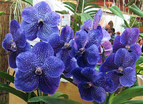 orqu 237 dea azul vanda robert s delight explore luiz casimiro fotografia flickr