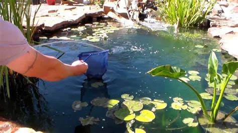 Backyard Bass Pond Largemouth Bass Attacking Minnows In Net Youtube