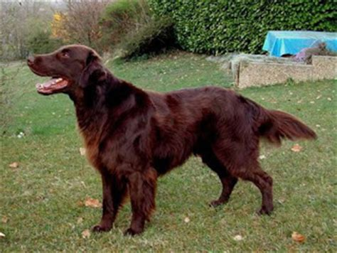 flat coated retriever mix puppies for sale golden retriever newfoundland mix breed breeds picture