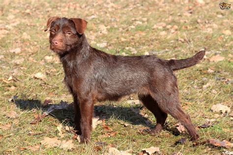 patterdale puppies patterdale terrier breed information buying advice