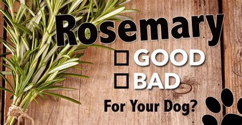 is rosemary safe for dogs rosemary a beneficial herb doggies care