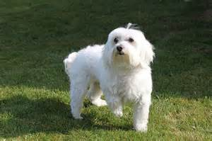 small breed profile what you need to about the maltese