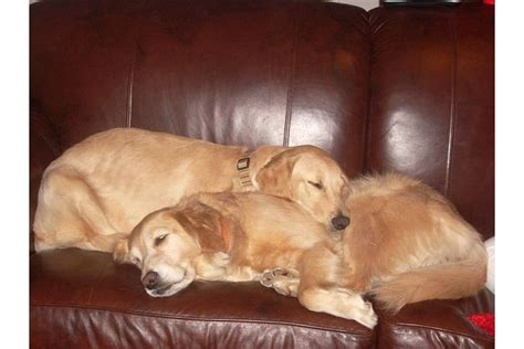 sleeping golden retriever sleeping golden retrievers