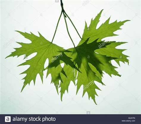 maple tree leaf arrangement silver maple soft maple or white maple acer saccharinum leaves are stock photo 10537364 alamy