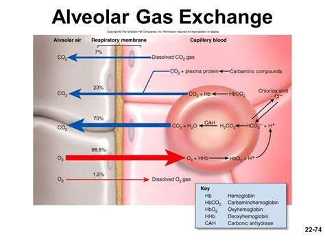 Pressure In Alveoli Gas Exchange Bing Images | pressure in alveoli gas exchange bing images