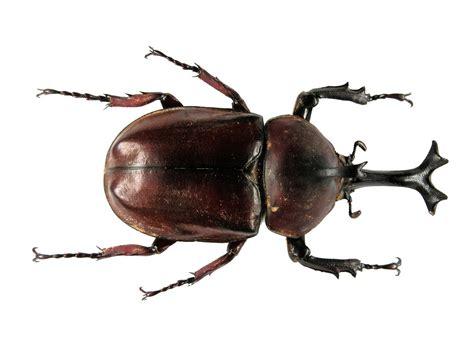CHAUDRON: Scarab beetles: Allomyrina dichotoma tunobosonis