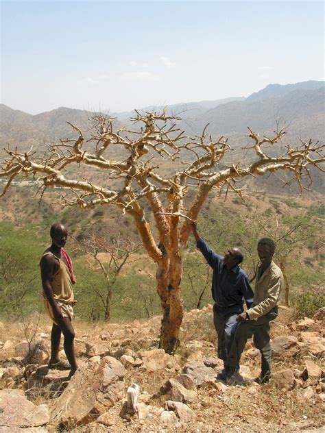 FRAnkincense, Myrrh and gum arabic: sustainable use of dry woodland resources in Ethiopia (FRAME
