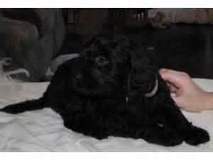golden retriever boise golden retriever puppies in idaho