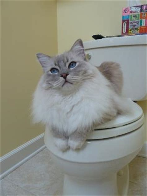 ragdoll weight how much does your ragdoll weigh
