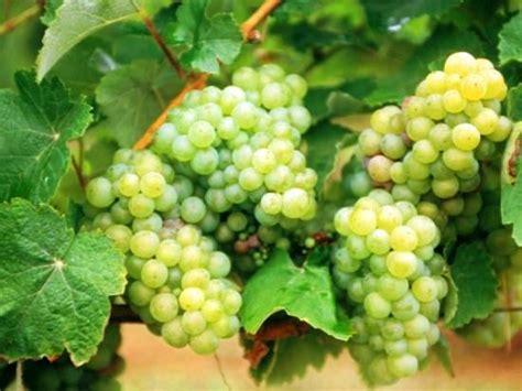 Bibit Anggur Merah Hijau Dan Hitam anggur ciri ciri tanaman serta khasiat dan manfaatnya situs tanaman obat indonesia