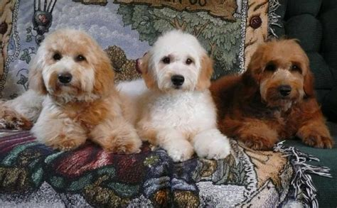 miniature golden retriever ontario goldendoodle puppy breeders ontario mini doodle puppies for sale