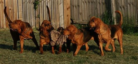 bloodhound colors canadianbloodhoundclub breed information