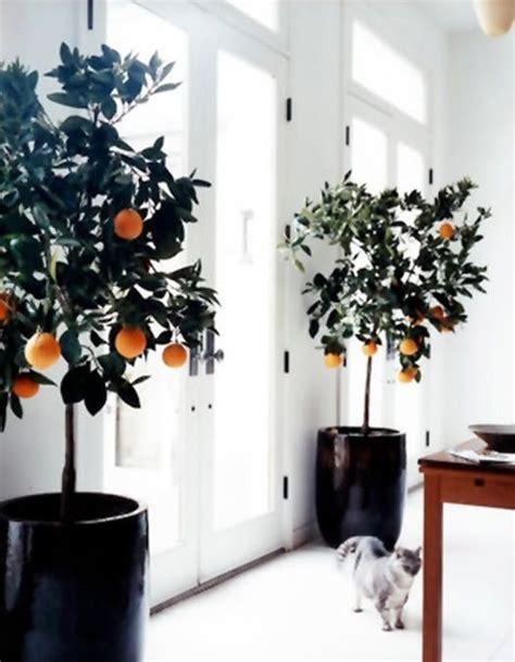 indoor fruit plants indoor fruit trees secret garden pinterest
