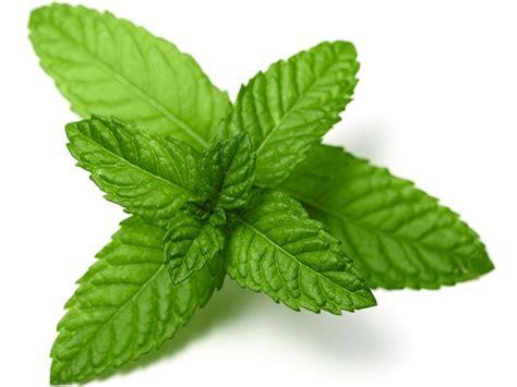 mint images peppermint leaves 4490 bio botanica