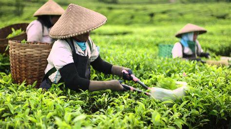 Teh Indonesia akibat pestisida produk teh indonesia ditolak di eropa