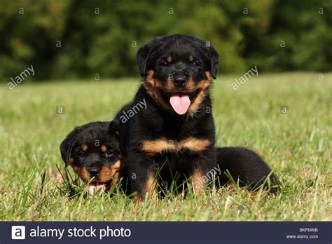 haired rottweiler puppy rottweiler welpen rottweiler puppies stock photo royalty free image 29235287 alamy