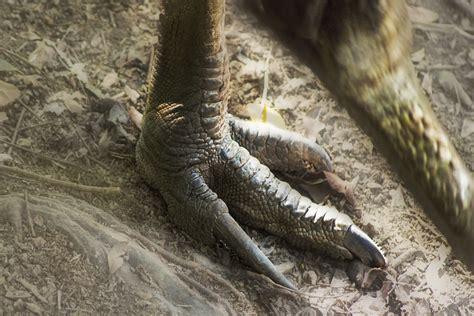cassowary claw