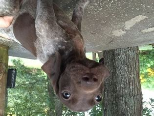 german shorthaired pointer puppies for sale in ga view ad german shorthaired pointer puppy for sale blairsville usa