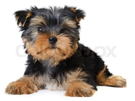 pictures of yorkies at different ages yorkie puppies at different ages dogs breed terrier age teacup