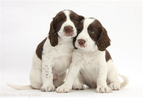 Everything About Your Springer Spaniel My Dogs