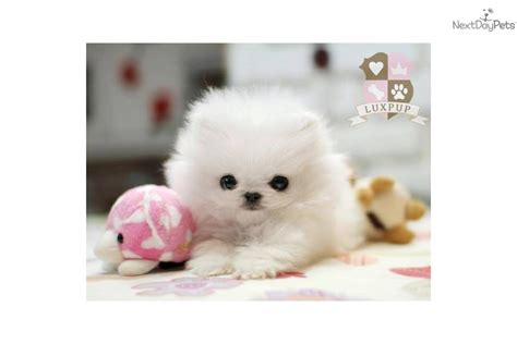 pomeranian teacup size meet elli a pomeranian puppy for sale for 3 800 teacup size snow white pomeranians