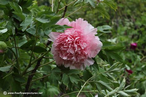 peony plant picture flower pictures 843