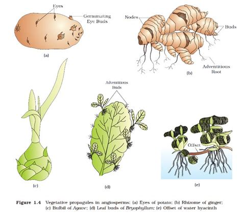plant reproduction worksheet asexual reproduction in plants biology plants