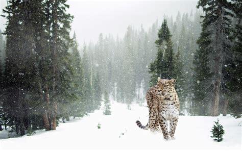 picture tree snow leopard animal predator