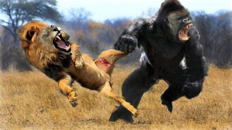 craziest animal fights caught  camera  lion