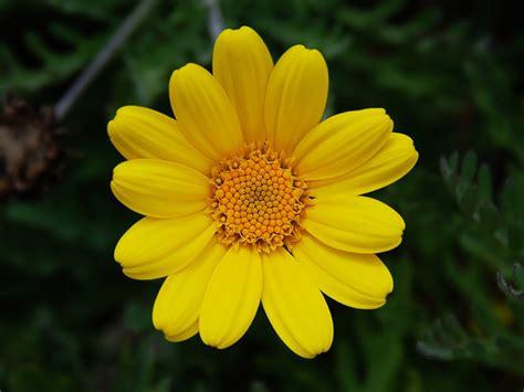 for flowers flower homes chamomile flowers