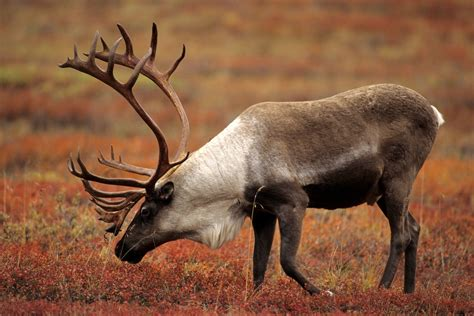 caribou rangifer tarandus the animal encyclopedia