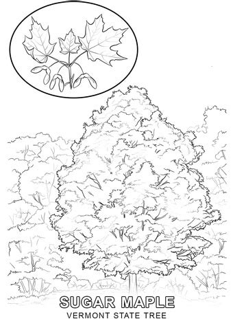 vermont state tree coloring page free printable coloring