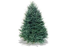 real fresh cut christmas trees at the home depot at the