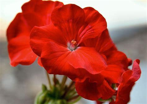 Garten Blumen Pflanzen 1734 by Geranien Rot Geranium Garten 183 Kostenloses Foto Auf Pixabay