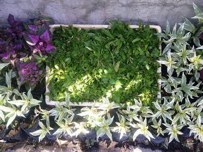 tanaman rumput tanamanbaru