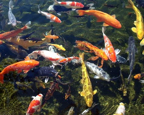 Garden State Koi by The Fish File Pond Fish