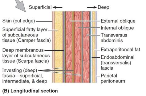 layers of abdomen in c section scarpa s fascia or stratum membranosum abdominis is the