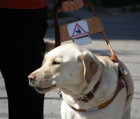 comfort animal certification guide dog eevi her pedigree has 13 generations of finnis
