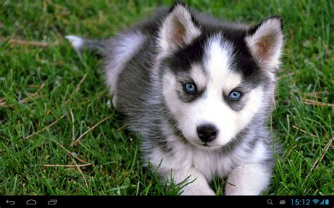 how dogs live puppies dogs live wallpaper android apps on play