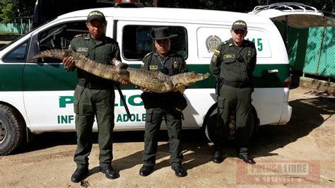 policias ladrones y cocodrilos babilla se ocultaba debajo de una cama en una residencia de arauca 187 prensa libre casanare