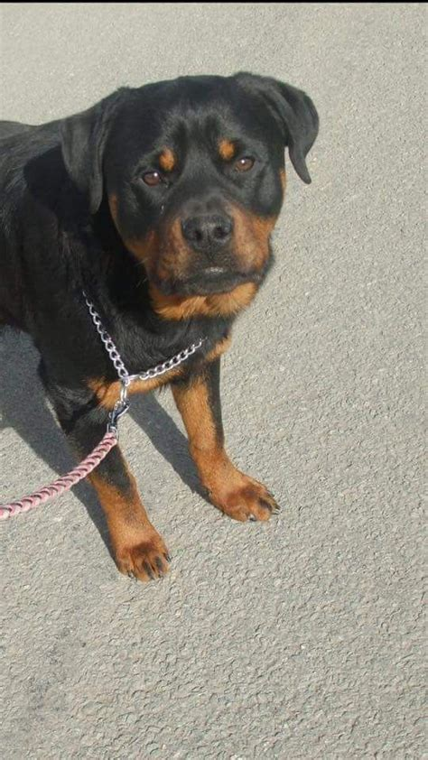 rottweilers for adoption uk 2 rottweiler bitches for adoption oswestry shropshire pets4homes