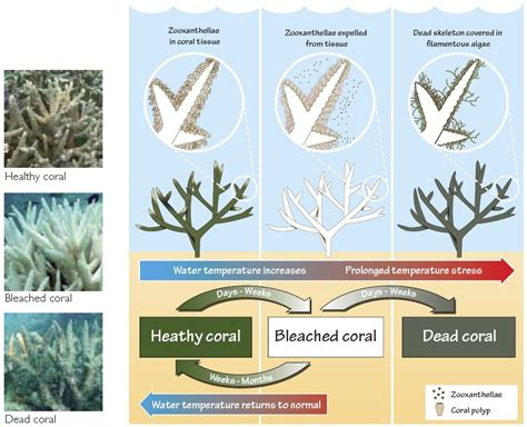 coral bleaching diagram how impacted the great barrier reef the
